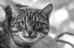 And Don't Forget ... (AnyMotion) Tags: portrait blackandwhite bw pet nature animal cat garden freedom tiere chat bokeh tabby portrt gato sw katze garten smilla flin freiheit getigert 2015 anymotion 7d2 hugyourcatday canoneos7dmarkii