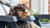 Gammelfar-Old daddy (Kenneth Gerlach) Tags: haslev regionzealand denmark dk ruhåret gravhund dachshund resting hviler overvåger