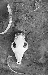 RAD20160610_018 - Munga Thirri Expedition, Simpson Desert AUS  (Kodak BW400CN) (Cecilia Temperli) Tags: rad20160610 arollinadayadayinaroll australia camelexpedition camels trekking desert packcamels film kodak kodakbw400cn nikon nikonfm3a simpsondesert mungathirrisurveyexpedition skeleton dromedaryskeleton dromedaryskull australiandesertexpeditions