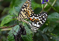 Citrus Swallowtail Butterflies (Papilio demoleus) (Seventh Heaven Photography) Tags: male animal female butterfly insect small butterflies mating citrus lime swallowtail dingy nikond3200 chequered