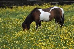 Pony vom Nachbarhof (julia_HalleFotoFan) Tags: wiese insel pony ostsee fehmarn hahnenfus