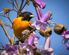 Among the Flowers (Thomas James Caldwell) Tags: orange black color bird john purple wildlife baltimore national heinz refuge songbird oriole