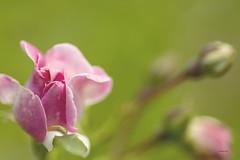 pobre (rosalgorri1) Tags: lluvia bokeh flor rosa gotas desenfoque verano gusano profundidaddecampo