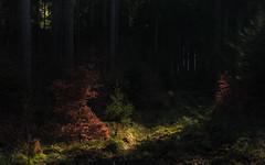 Scary Forest (Netsrak) Tags: trees light shadow red tree green rot forest germany landscape deutschland licht woods mood outdoor atmosphere grn landschaft wald bume schatten baum atmosphre stimmung forst