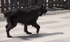Nssla (Yvonne L Sweden) Tags: dog dogs sweden hund eskilstuna flatcoatedretriever hundar nssla 160622 fristadstorget hundshow sommartorget