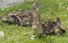 all mine (chromaphoto.co.uk) Tags: red west bird swan wings martin crane flamingo ducklings goose lancashire goslings wetlands trust mallard mere wwt goldeneye wildfowl breasted