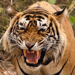 TIG01074GB_1 (giles.breton) Tags: india tiger tigers endangered ranthambhore panthera threatened andyrouse ranthambhorenationalpark pantheratigristigris royalbengaltiger dickysingh