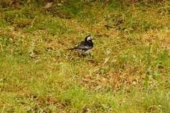Pied wagtail (sflangridge) Tags: bird piedwagtail leyton aphotoaday