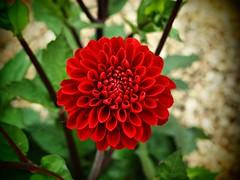 009 Dahlia Red (saxonfenken) Tags: 6697flower 6697 pompom dahlia redflower red pinhole dof shallow perpetual gamewinner pregamewinner tcf
