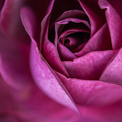 rose (stacey catherine) Tags: flower macro nature rose garden petals burgundy iceberg macroflowerlovers