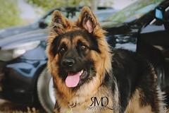 Pastor alemn // German Shepherd dog (Marina Quilon Photography) Tags: dog chien animal perro german sheperd germansheperd pastoraleman