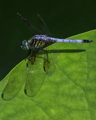 DragonFly_SAF8593 (sara97) Tags: nature insect outdoors dragonfly missouri saintlouis predator towergrovepark mosquitohawk odonata flyinginsect urbanpark photobysaraannefinke copyright2016saraannefinke