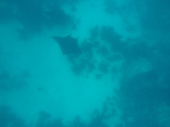 2 big Manta rays swimming near the bottom, seen while snorkelling.