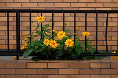 Yellow Flowers with Tiles (hidesax) Tags: leica flower yellow x neighborhood saitama fense vario ageo hidesax yellowflowerswithtiles