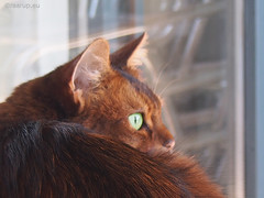 Always vigilant (Finn Frode (DK)) Tags: pet cats animal cat garden denmark outdoor watch olympus som somali verandah somalicat caithlin omdem5 dusharacathalcaithlin