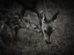 Moments (Colormaniac too) Tags: summer blackandwhite nature monochrome childhood animals june closeup blackwhite washington moments state pacific northwest olympicpeninsula sequim doe neighborhood deer fawn flypapertextures