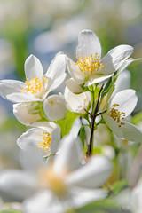 Jasminblte (memories-in-motion) Tags: macro nature canon eos spring blossom bokeh natur pflanze 85mm jasmin 5d blte strauch frhling blhen ef85mmf12liiusm gartengarden