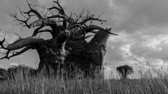There is no unsurmountable solitude (Javier Castanon) Tags: animalkingdom arbusto baobab bush orlando pastizal public sabana tree tronco trunk rbol