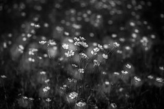 A dreamy meadow of buttercups (martina.stang) Tags: buttercup bokeh meadow ranunculus lowkey hmbt