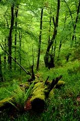 O bosque verde de Muniellos - Muniellos green forest (Gato M) Tags: verde green forest trekking asturias bosque monte montaa tronco muniellos andaina