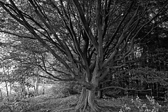 Buche am Fischteich - 2016 - 0013_Web (berni.radke) Tags: tree giant baum beech buche colossus riese fischteich dlmen hausdlmen