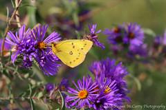 Orange Sulphur (Colias eurytheme) (Megan E. McCarty) Tags: flowers butterfly insect flora lepidoptera sulphur asters colias orangesulphur coliaseurytheme pieridae