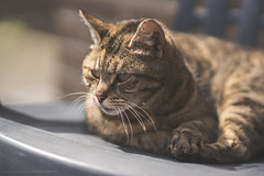 Miep (CarolienCadoni..) Tags: light sun animal june cat photography soft dof bokeh 85mm sal85f14z sonyslta99