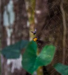 Teia. (Livia Feitosa) Tags: brasil fauna spider nikon wildlife web inseto mata insecte macei biodiversity aranha alagoas nikonphotos teia araneae gasteracantha biodiversidade nikonphotography faunabrasileira hobbu aranhaespinhosa nikonfotografia nikond7100 fotografiadeinseto
