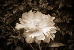 White-Peony (desouto) Tags: flowers sky nature water clouds stream stones lakes ponds hdr