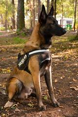 SUJET | Berge Malinois (BlandineD. Photographe) Tags: malinois chien animalier extérieur mâle