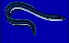 Ricetta del risotto con le anguille (RicetteItalia) Tags: ricette