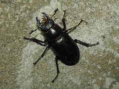 Lucanus ibericus (gkhan eren) Tags: turkey bug trkiye beetle bugs animalia arthropoda bcek insecta sakarya lucanusibericus gkhnrn gkhaneren