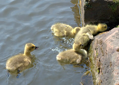 Splashing about (Tony Worrall Foto) Tags: beasts animals wild fun england northern uk update place location north visit area county attraction open stream tour country cute birds babies signet swan group canal manchester water climb funny small feathers splash cygnet gmr