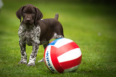 Young Albert, 8 weeks old (psxdadz) Tags: puppy germanshorthairedpointer