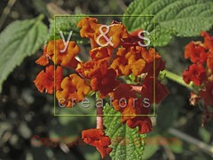 JN050212 (yoyogyogi) Tags: pink flowers red wild plants india plant flower texture nature leaves rose yellow leaf berry flora natural bright blossom foliage textures bloom shrub delicate botany lantana wildflower camara ephemeral topics verbena blooming lantanas lantanacamara bunchberry verbenaceae commonlantana ornamentalplants feston shrubverbena plantpart tantani ghaneri festonrose temperateflower payacom horridainfl verbenlanana