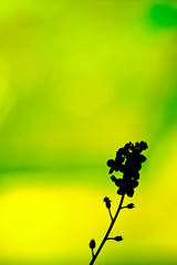 Forget Me Not (CamMonkeh) Tags: flowers green garden 50mm bokeh forgetmenot smoothbokeh nikond90