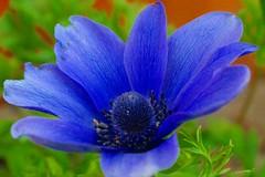 Blaues Wunder ... (mo_meede) Tags: flower macro hamburg blumen mai anemone blau makro frhling blten 2013 curslack canoneos400ddigital mosfotogarten blinkagain momeede rememberthatmomentlevel1 rememberthatmomentlevel2