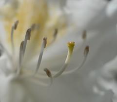 Feinheiten (deta k) Tags: flowers macro berlin germany deutschland flora natur blumen blten grtenderwelt nikond5100