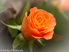 20130518_1032_Roos (Rob_Boon) Tags: plant flower macro rose roos wijlre