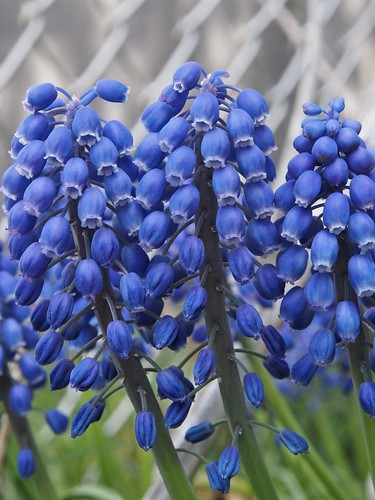 Grape Hyacinth Cluster