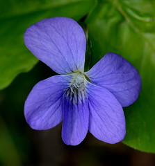 Pretty in blue (psiegle) Tags: violet lcfpd lakecountyforestpreservedistrict captaindanielwrightwoods