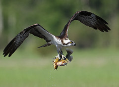 What a way to ruin a catfish wedding! (ken.helal) Tags: osprey avianexcellence