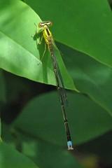 Vesper bluet, male (Enallagma vesperum) - Rare (Vicki's Nature) Tags: male yard canon georgia damselfly rare s5 9153 enallagmavesperum vesperbluet vickisnature