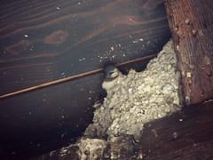 Rondinini. (Mariposa.92) Tags: nature birds fauna puppies nest little samsung natura uccelli pajaros cachorros nido fvg swallows sacile rondini volatili piccoli tragarse wb150f paquenos