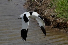 Avocet, Upton Warren (Muntjac 1) Tags: bird birds avocet avocets uptonwarren