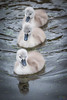 Three Little Birds (Fairy_Nuff (new website - piczology.com!)) Tags: reflection birds three swan little cygnet dorset abbotsbury swannery