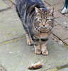 So I'm A Damned Cat - What Did You Expect? (aceanorak1) Tags: beauty animal cat dead mouse rodent feline killer beast killed pest harvieandthemouse