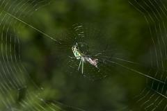 Spider eating series 7 (Richard Ricciardi) Tags: spider eating web spinne araa  araigne ragno timeseries     gagamba    nhn  spidertimeseries