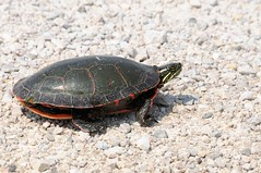 2013 Painted Turtle 3 (DrLensCap) Tags: road robert animal wisconsin turtle painted wildlife amphibian national wi kramer dike refuge horicon mayville