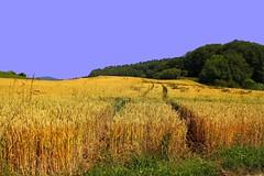 Brügg champ de blé (jd.echenard) Tags: campagne seeland champdeblé cantondeberne efs1855mmf3556iii aegerten brügg paysagesuisse switzerlandlandscape schweizlandschaft canoneos1100d